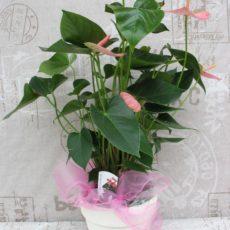 Anthurium Różowe