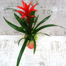 Kwitnąca Guzmania