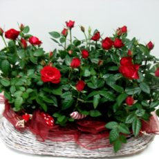 Kosz Miniaturowych Różyczek