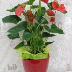 Duże Anthurium Czerwone